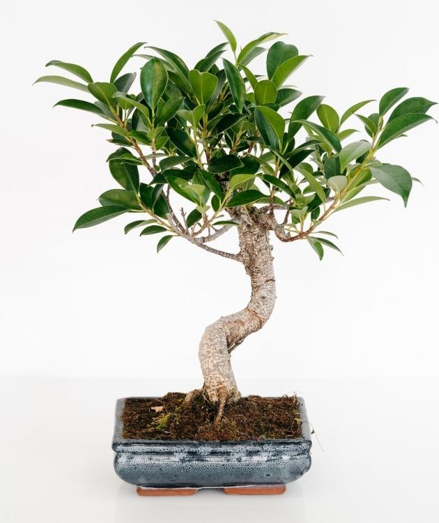Fleurs à Lisbonne - Bonsai Ficus Retusa 6 anos 1