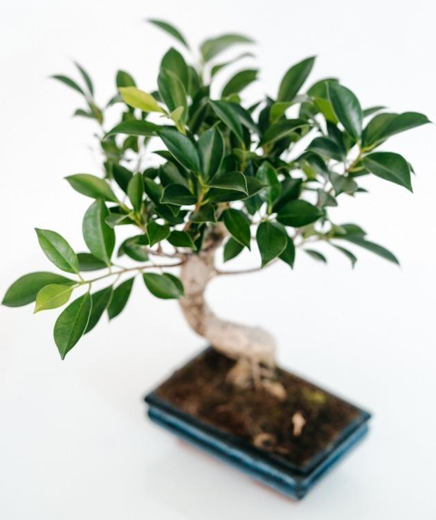 Fleurs à Lisbonne - Bonsai Ficus Retusa 6 anos 4