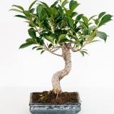 Fleurs à Lisbonne - Bonsai Ficus Retusa 6 anos 1 Thumb