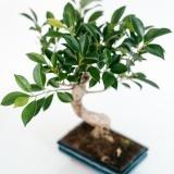 Fleurs à Lisbonne - Bonsai Ficus Retusa 6 anos 4 Thumb