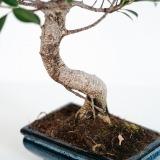 Fleurs à Lisbonne - Bonsai Ficus Retusa 6 anos 2 Thumb
