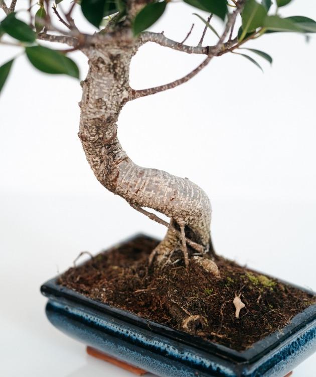Fleurs à Lisbonne - Bonsai Ficus Retusa 6 anos 2