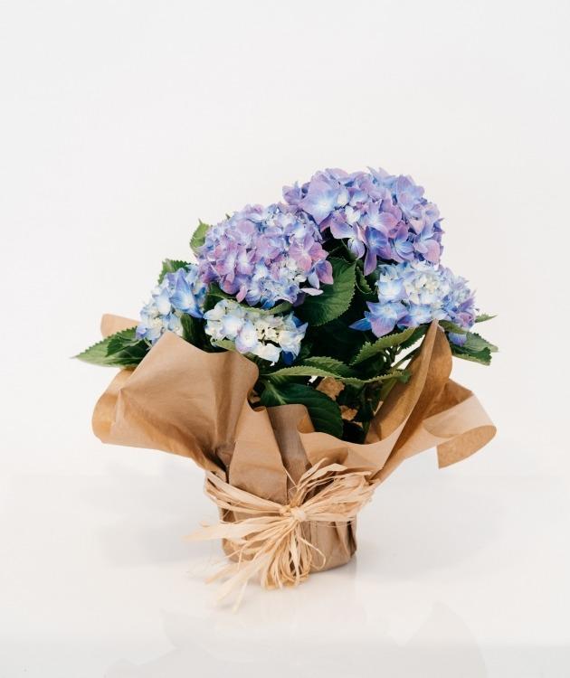 Fleurs à Lisbonne - Hortensia Azul 1