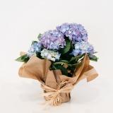 Fleurs à Lisbonne - Hortensia Azul 1 Thumb