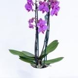 Fleurs à Lisbonne - Orquídea Cor de Rosa Forte 1 Thumb