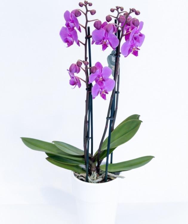 Fleurs à Lisbonne - Orquídea Cor de Rosa Forte 1