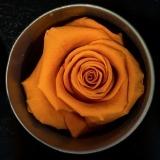 Fleurs à Lisbonne - Rosas Preservadas 5 Thumb