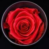 Fleurs à Lisbonne - Rosas Preservadas 7 Thumb